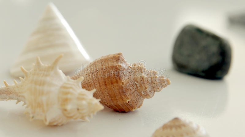 Seashell close up royalty free stock image