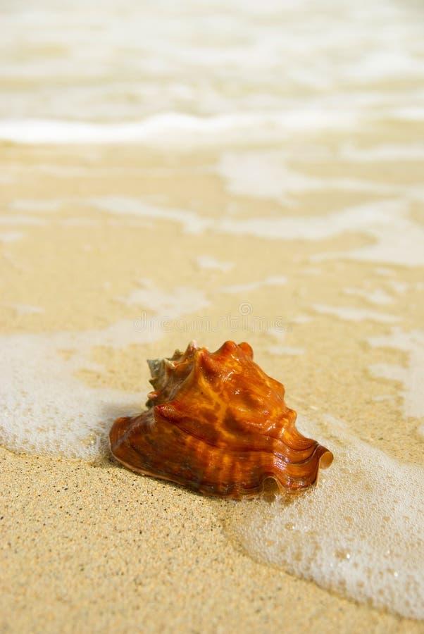Seashell com fundo borrado foto de stock