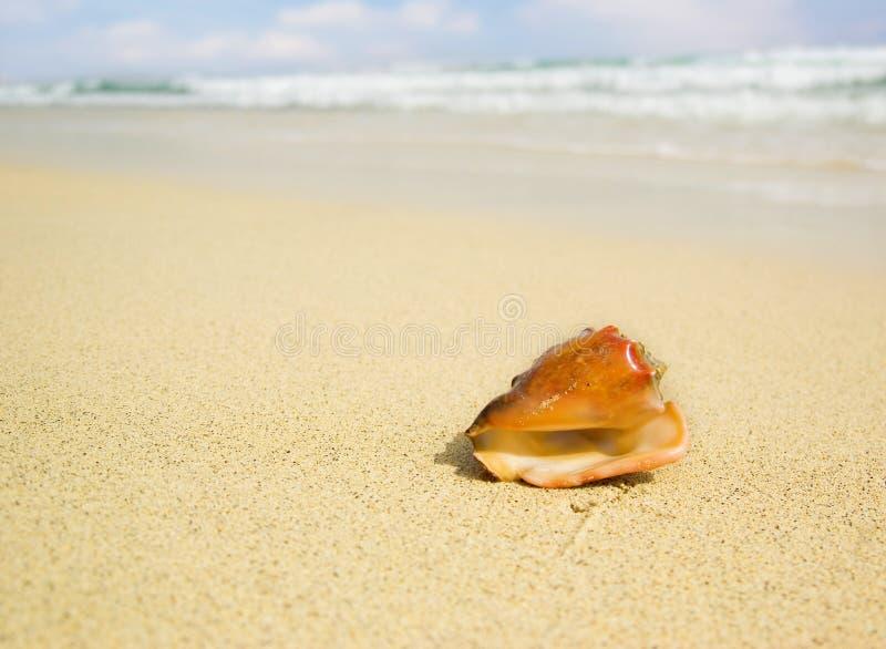 Seashell com fundo borrado imagem de stock royalty free