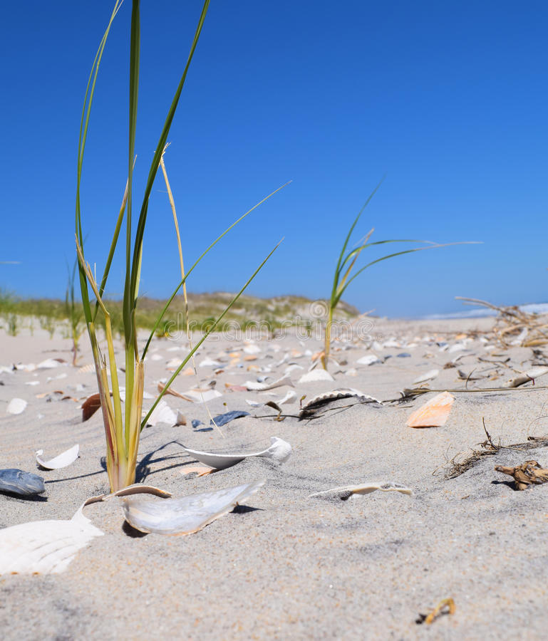 Seashell Cover. Fresh dune grass sprouts among the seashells stock image
