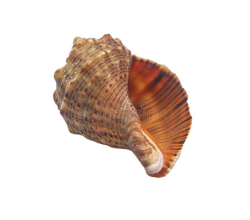 Seashell d'isolement sur le blanc photos libres de droits