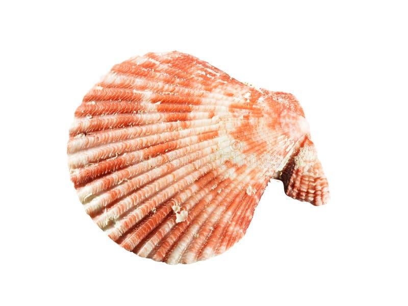 Seashell d'isolement sur le fond blanc photographie stock libre de droits