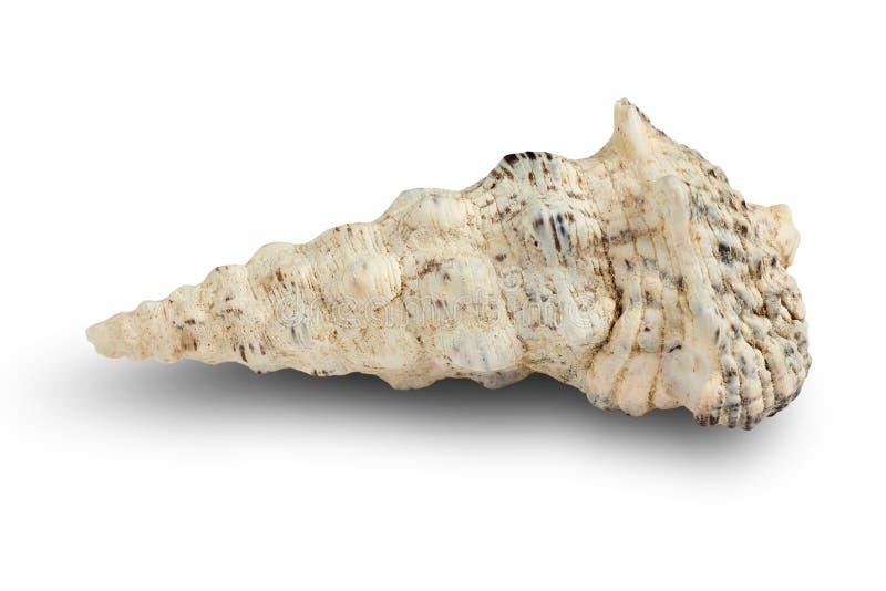 Seashell d'isolement sur un fond blanc image stock