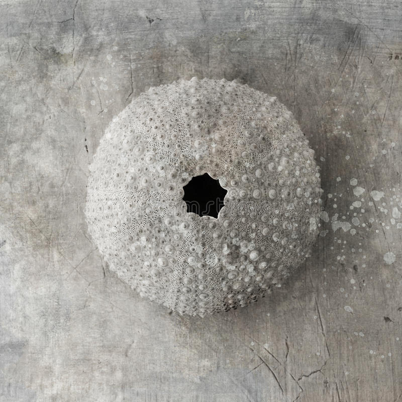 Seashell d'oursin photos libres de droits