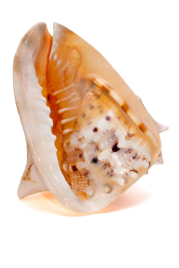 Seashell de Cassis Cornuta d'isolement photos stock