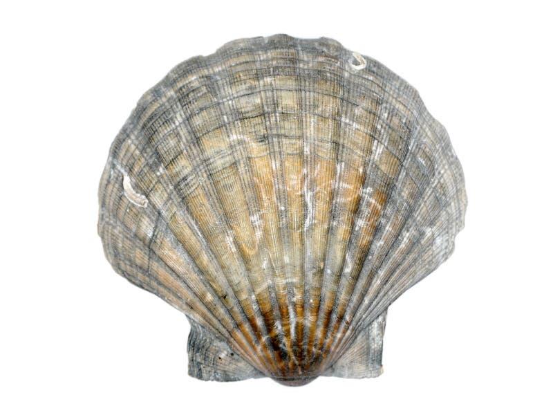 Seashell de la concha de peregrino foto de archivo