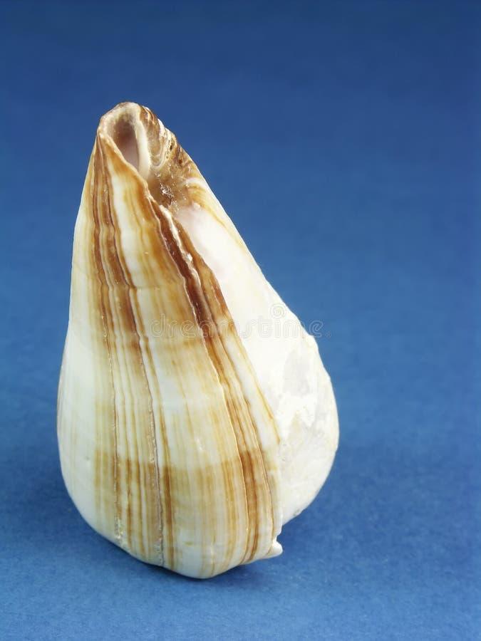 Seashell del cono del mouse fotografia stock