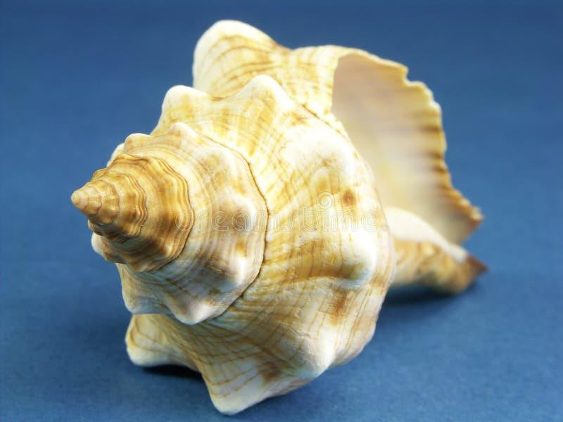 Seashell della conca del cavallo della Florida immagini stock