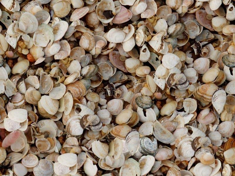 Seashell della superficie della spiaggia del Cockleshell fotografia stock libera da diritti
