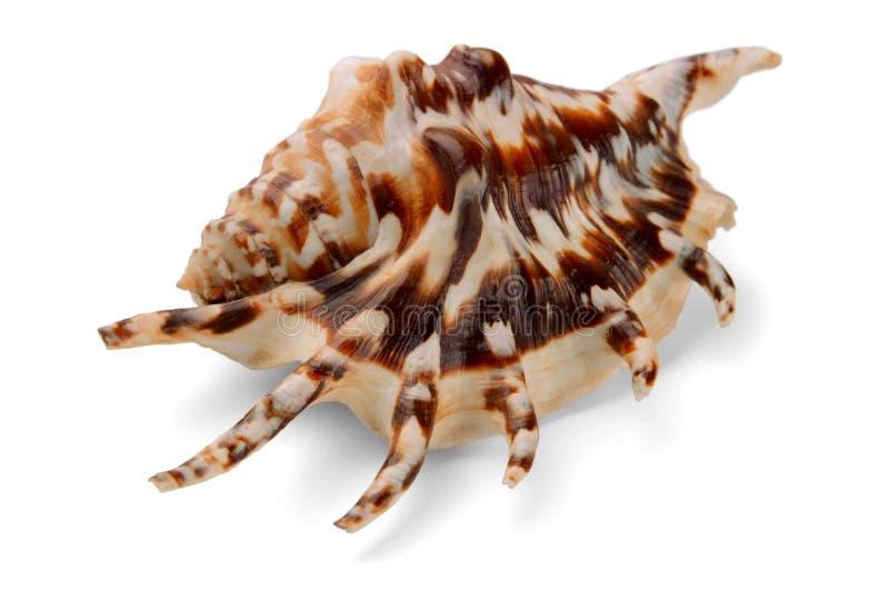 Seashell do lambis do Lambis foto de stock royalty free