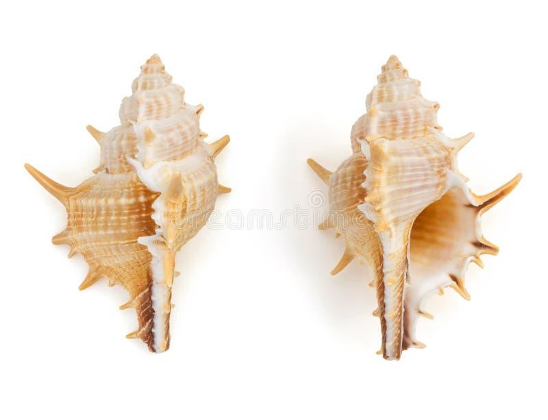 Seashell en el fondo blanco foto de archivo