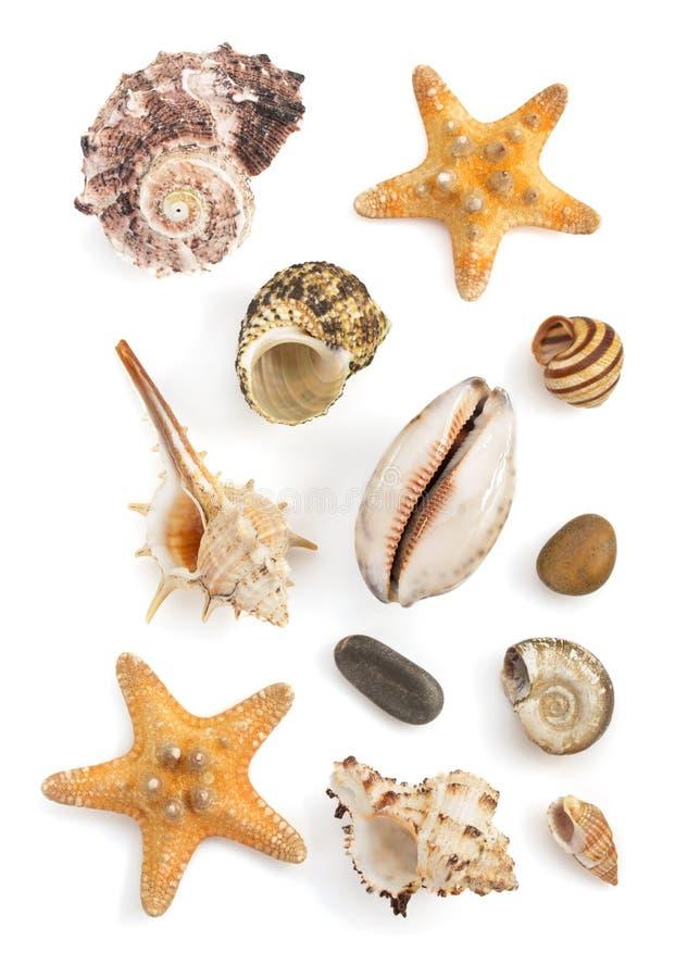 Seashell en el fondo blanco foto de archivo libre de regalías
