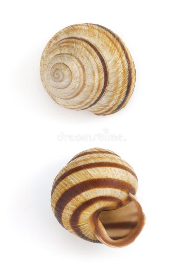 Seashell en el fondo blanco fotografía de archivo libre de regalías