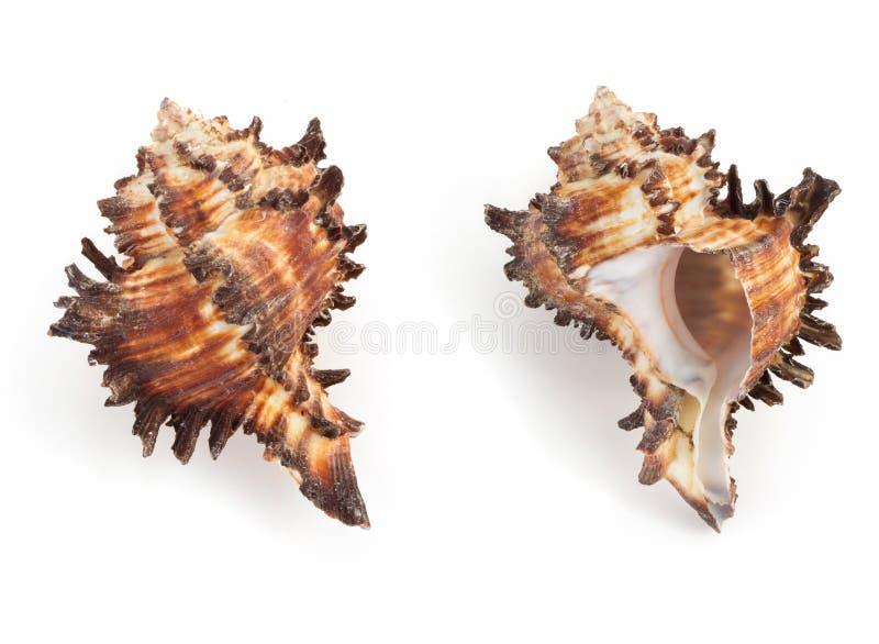 Seashell en el fondo blanco fotografía de archivo