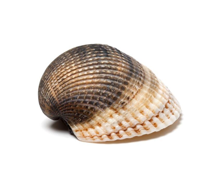 Seashell en el fondo blanco fotos de archivo