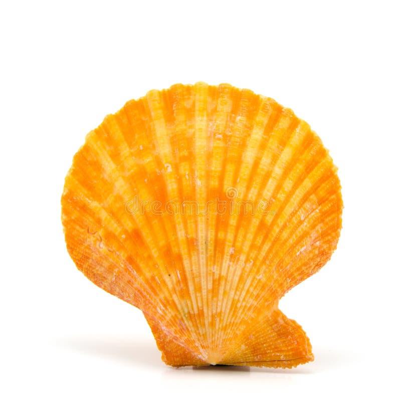 Seashell en el fondo blanco imagen de archivo libre de regalías