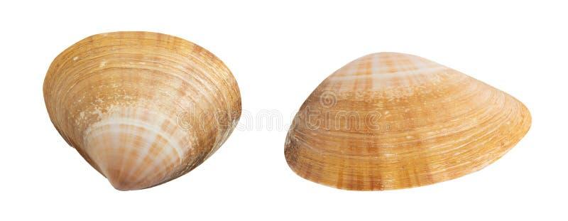 Seashell geïsoleerd op wit stock fotografie