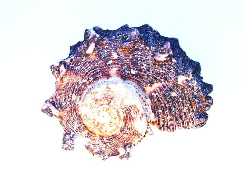 Seashell Gnarled sopra bianco immagine stock