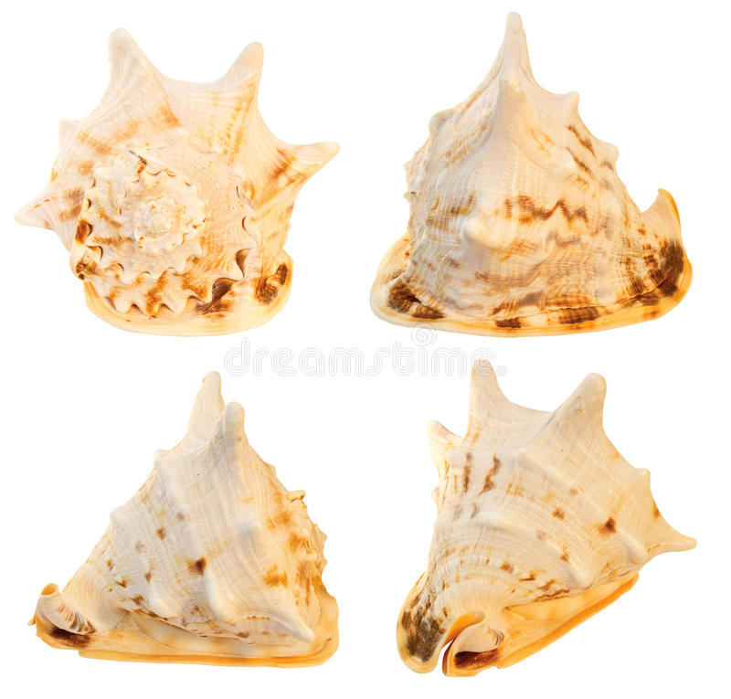 Seashell grande. collage fotos de archivo libres de regalías
