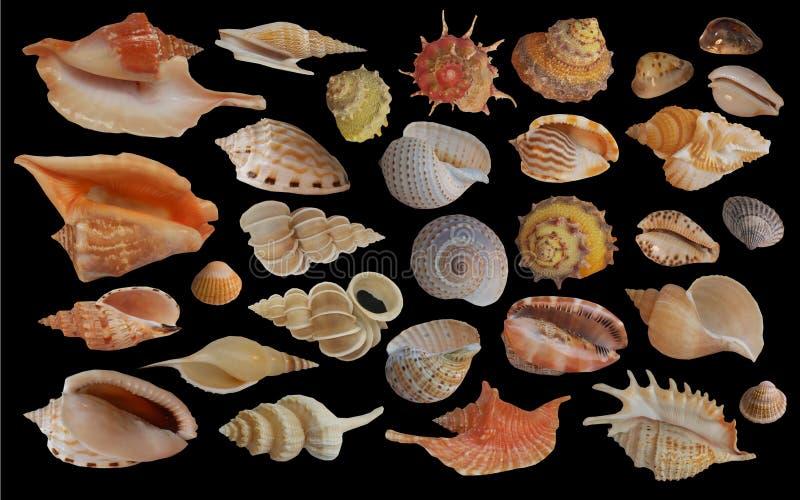 seashell gromadzenia danych zdjęcie royalty free