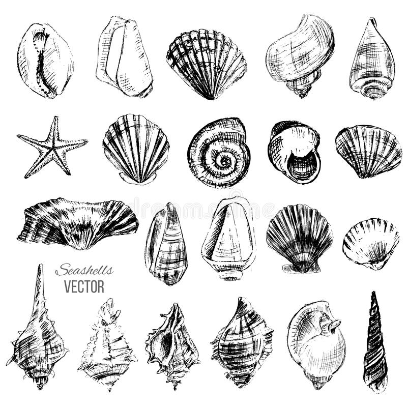 Seashell hand drawn graphic etching sketch on white background, collection underwater artistic marine element desi. Seashells hand drawn graphic etching sketch stock illustration