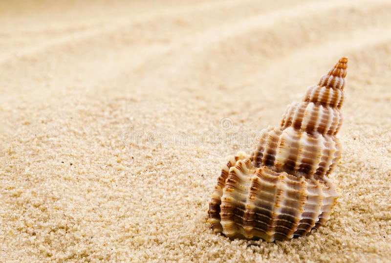 Seashell isolé. image stock
