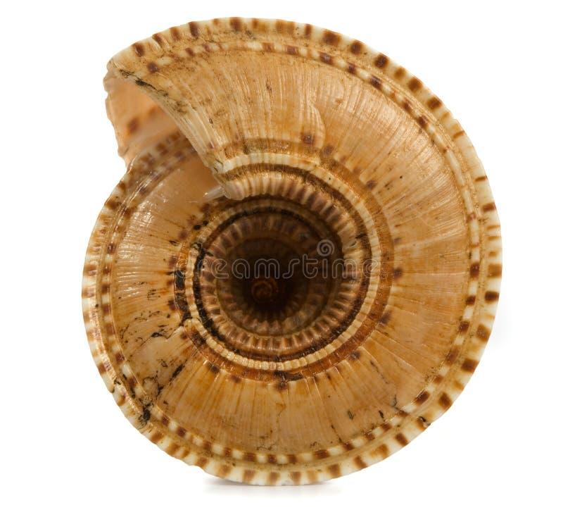 Free Seashell Isolated On White Background Stock Image - 9801991