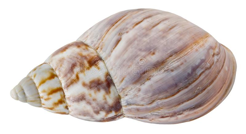 Seashell isolated. Sea snail on white background royalty free stock image