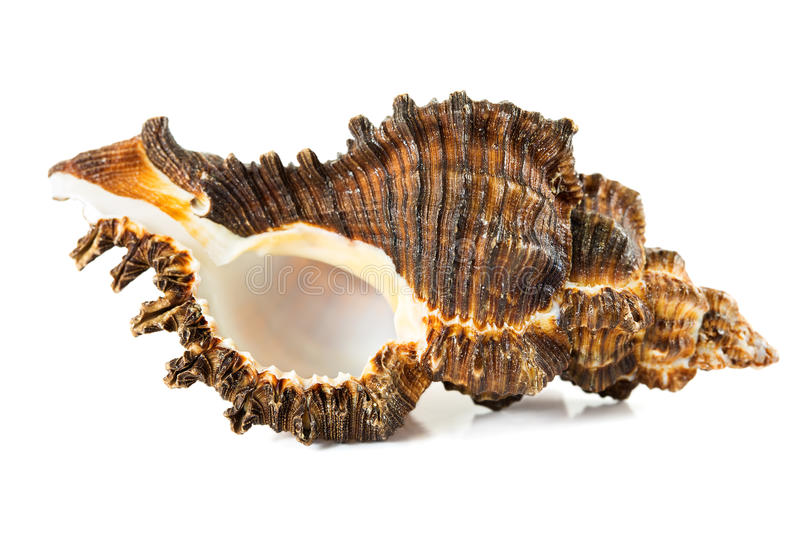 Seashell isolated on a white royalty free stock photos