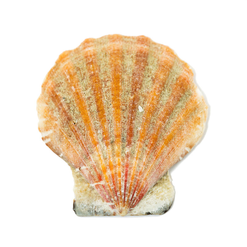 Seashell isolated on a white stock image