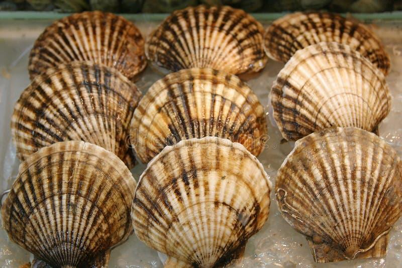 Seashell - Kamm-Muschel lizenzfreie stockfotos