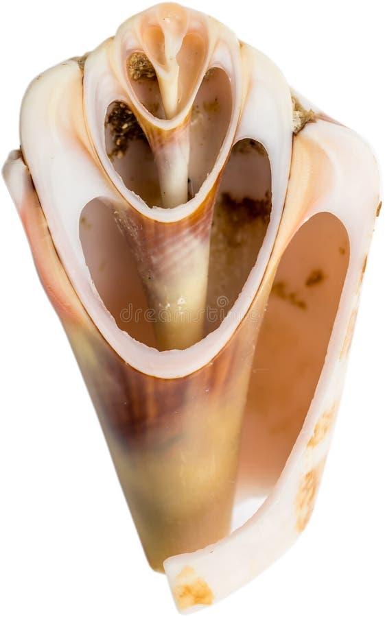Seashell-Kapitel stockbild