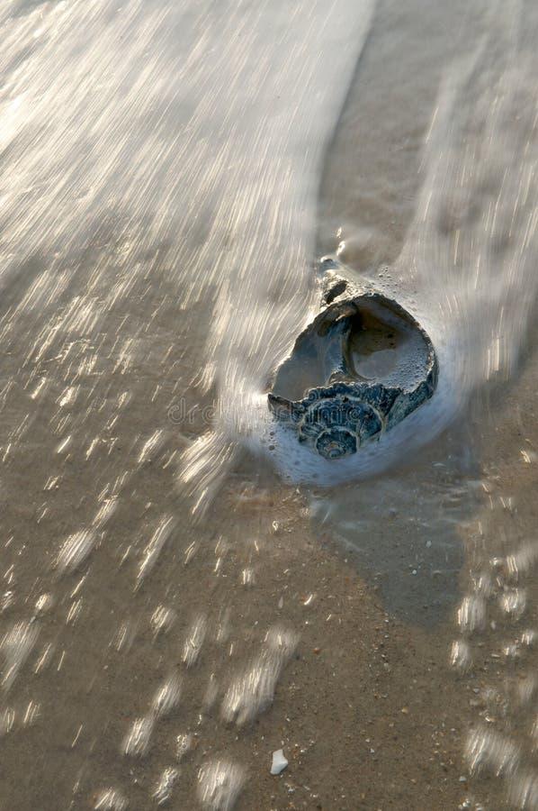 seashell kipiel obrazy royalty free
