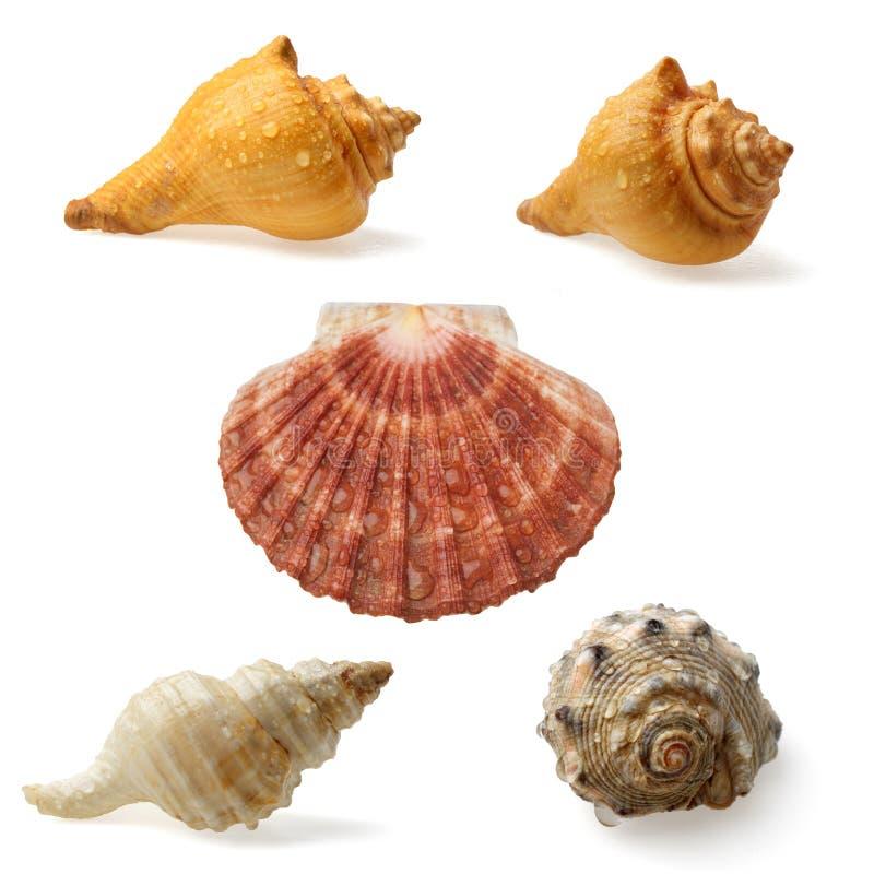 Seashell kolekcja obraz royalty free