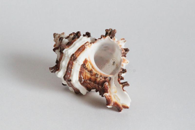 Seashell murex эндивия на серой предпосылке стоковые фото