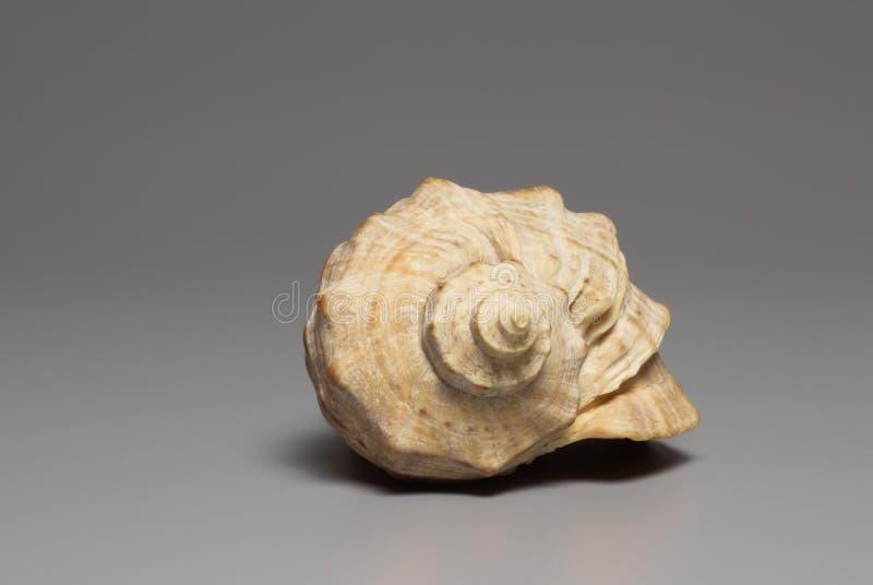 Seashell na tle ilustracja wektor