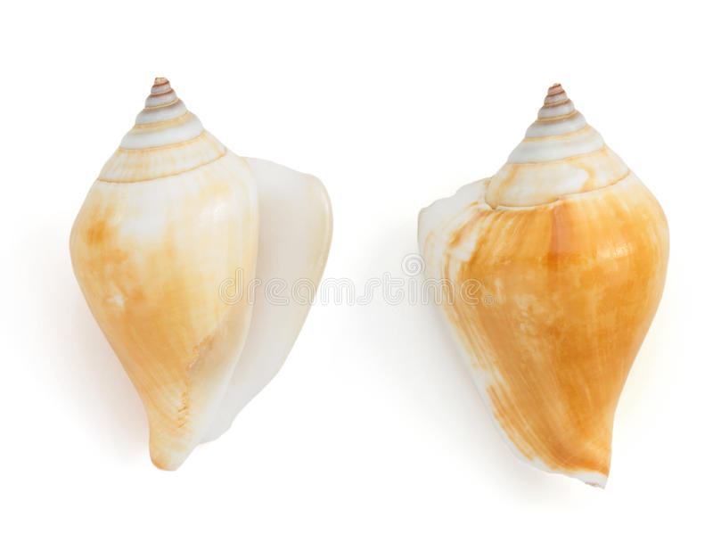 Seashell no fundo branco fotos de stock royalty free