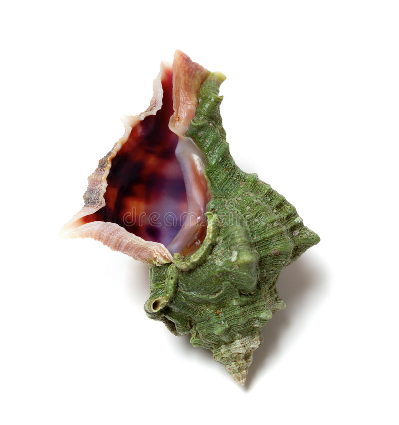 Seashell no fundo branco foto de stock royalty free
