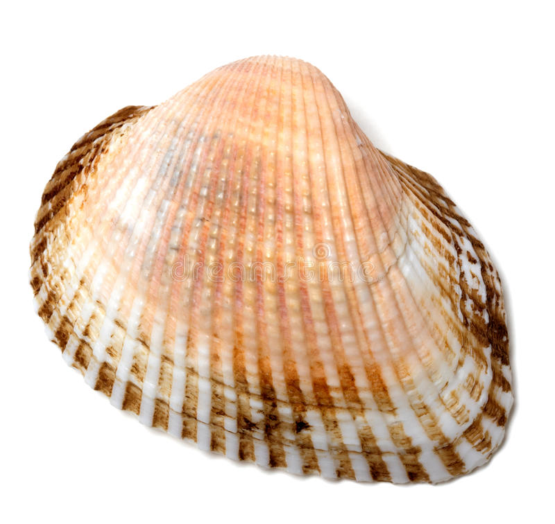 Seashell no fundo branco fotos de stock