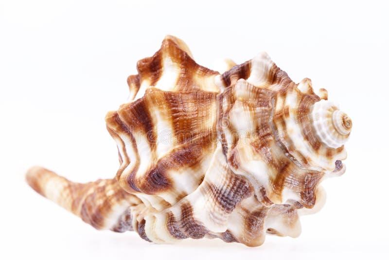 Seashell odizolowywający na białym tle końska koncha zdjęcie stock