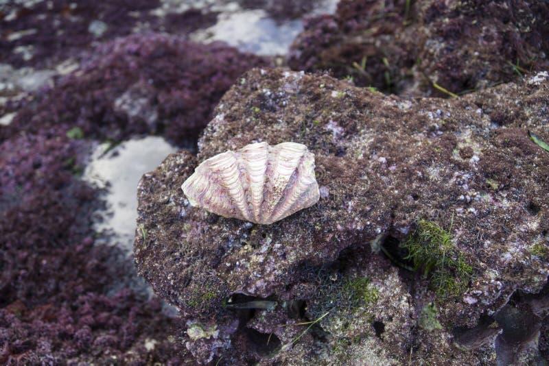 Seashell on a rock during lowtide, Nusa Lembongan, Bali, Indonesia. Purple Seashell on a purple rock during lowtide, Nusa Lembongan, Bali, Indonesia stock photos