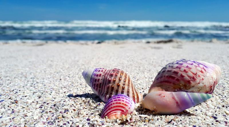 Seashell, Sand, Sea, Cockle stock photography