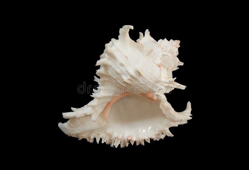 Seashell (sea shell) stock images