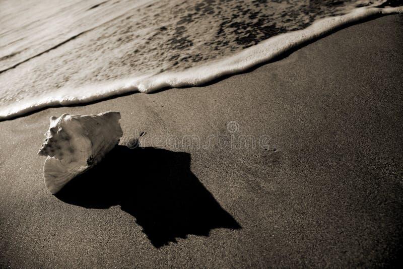 seashell sepiowy brzegu obraz royalty free