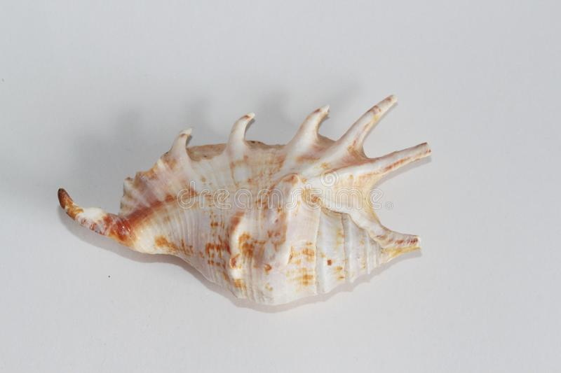 Seashell of spider conch royalty free stock photos