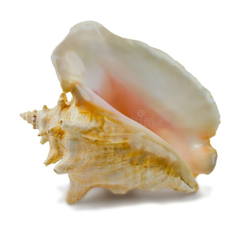 Seashell Strombus gigas obrazy royalty free