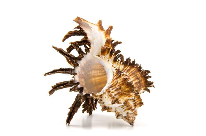 Seashell su priorità bassa bianca fotografie stock libere da diritti