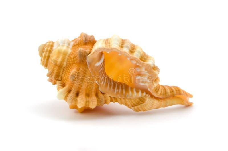 Seashell su priorità bassa bianca immagini stock libere da diritti