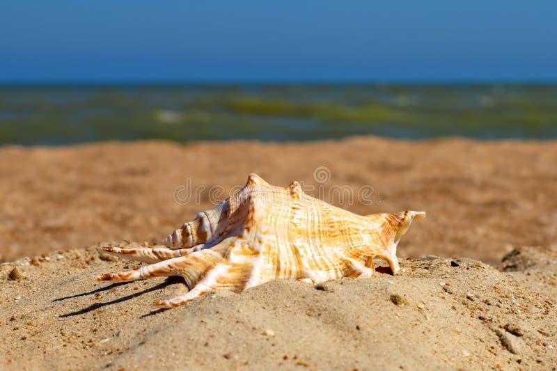 Seashell su una spiaggia. immagine stock