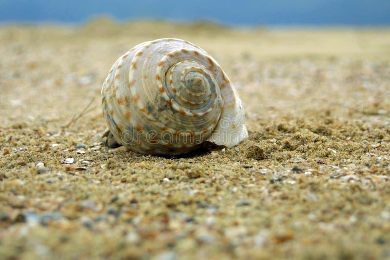 Seashell sulla spiaggia della sabbia. immagini stock